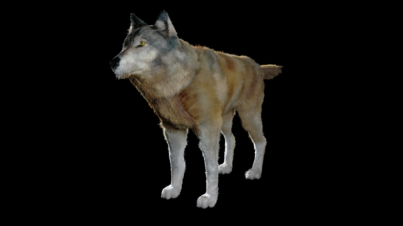 [Wolf_test_render] dans 3D work WOLF01
